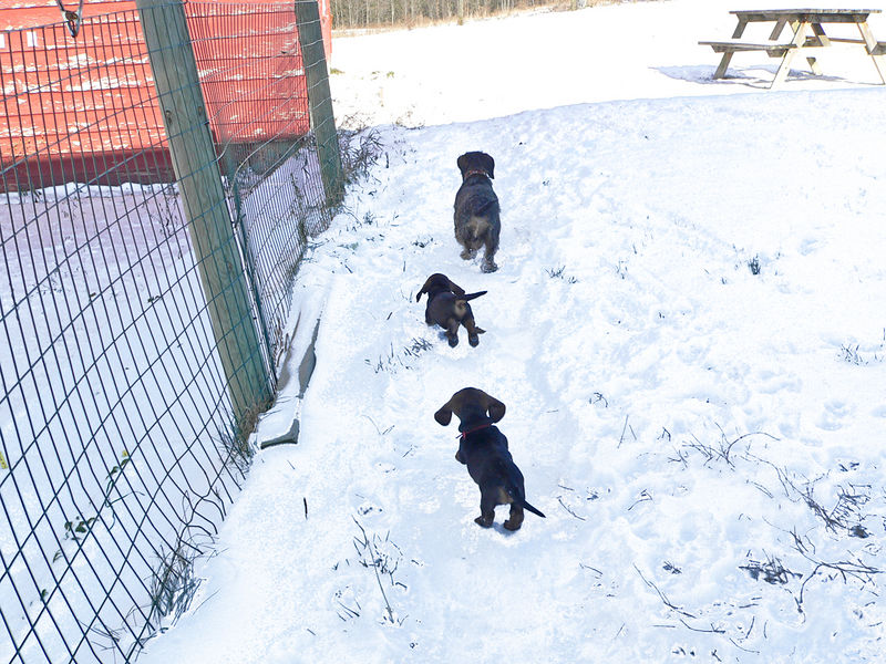 November 25, week #6<br /> Winter arrived in a full force. Today in the morning temperature outside was 7F, and we had at least an inch of snow on the ground. Puppies eagerly follow Elli in the snow.