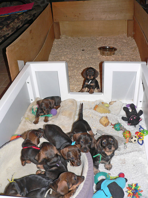 November 25, week# 6<br /> Back in the house - the whelping box is attached to the pen filled with wood shavings. This is where pups go to bathroom.