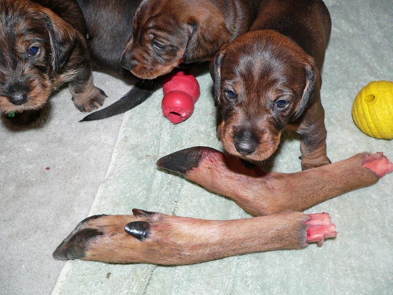 November 9, week #4<br /> Pups are learning new things all the time. A pair of deer feet is pretty stimulating.
