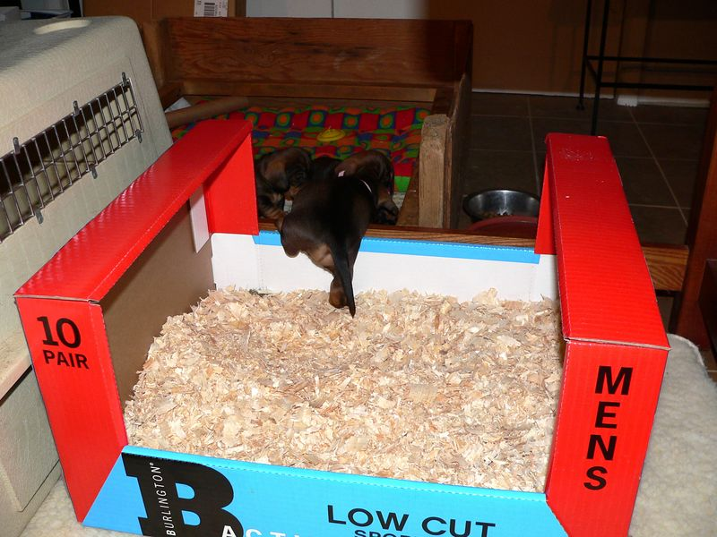 May 6 - Even though the pups are just 4 weeks old, they have strong instincts to keep their bed clean. A bathroom - the box with wooden chips - is placed next to their whelping box and the pups have no problem going back and forth.
