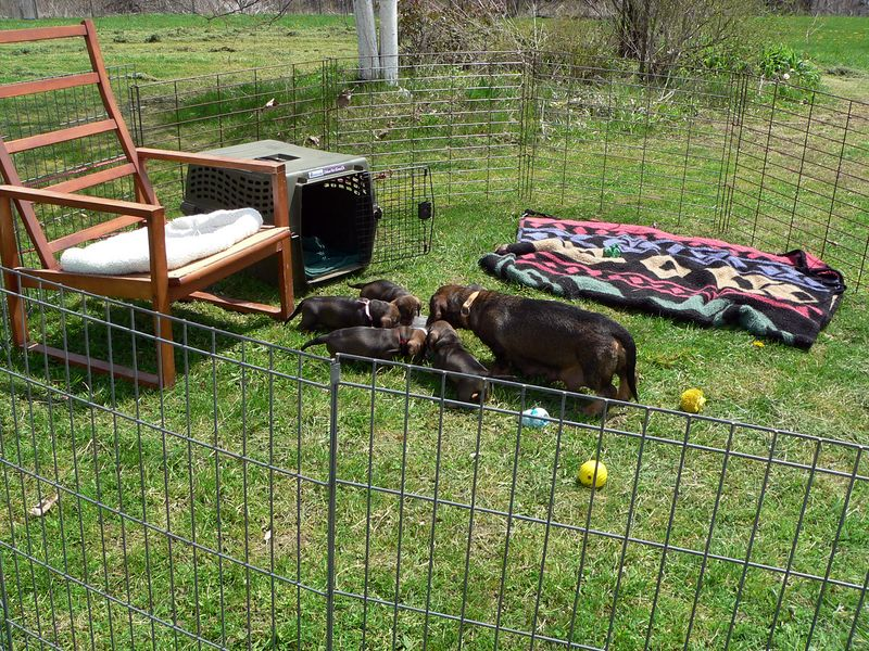 May 5 - FinalLy we have a sunny and warm day. Pups are out in an ex-pen. If Gela wants to get away from them, she can jump on the chair. There is plenty of shade for her and the pups. Pups are approaching the end of the 4th week and  they are given formula twice a day.