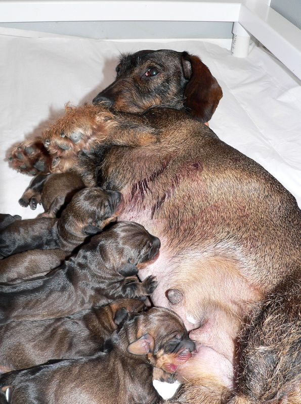 All puppies are of wild boar color. We know that Gela carries a gene for chocolate color so it looks like Billy, the sire of pups, is homozygous for the wild boar color gene.