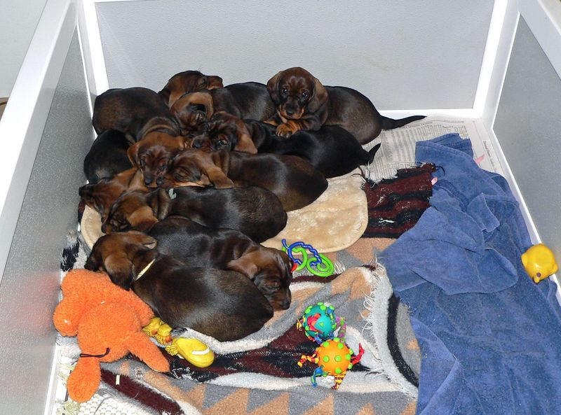 May 13 (week #5)<br /> It is rainy outside today and two packs are getting a nap in a bigger whelping box.