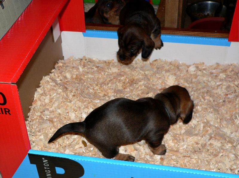 May 6 - The pups have figured out really quickly what the box with chips is for! This is how housebreaking starts. It is up to a breeder to provide a right setup for the pups so they can keep their bed clean and eliminate somewhere else.