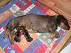 April 21, 2008<br /> Emma is back home after C-section, still very groggy. Puppies are vigorous and nurse well.
