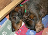 April 24, 2008 Pups are 3 days old and now their weights are 14 and 14.2 ounces.