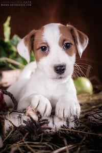 Jack Russell Terrier