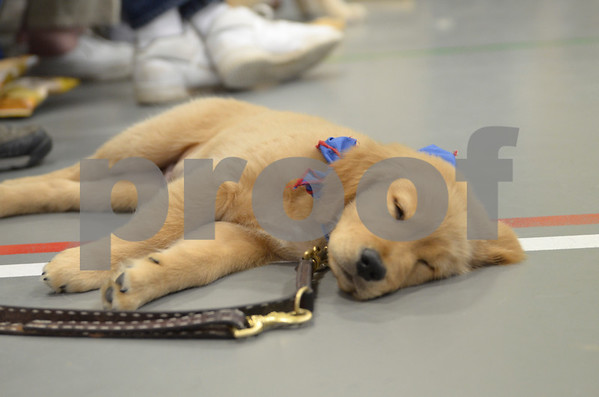 -Messenger photo by Jesse Major<br /> Bogey, a 10-week-old Future Leader Dog, takes a puppy nap during Puppy Days at the Fort Dodge Correctional Facility on Sunday.
