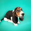3 Basset Hound Puppy Mencer Photography