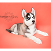 Siberian Huskey Mencer Photography-17 copy