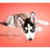 Siberian Huskey Mencer Photography-18