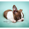 Chocolate Baby Boston Terrier-16
