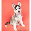 Siberian Huskey Mencer Photography-14 copy