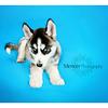 Siberian Huskey Mencer Photography-2 copy