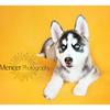 Siberian Huskey Mencer Photography-8