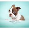 Chocolate Baby Boston Terrier-10