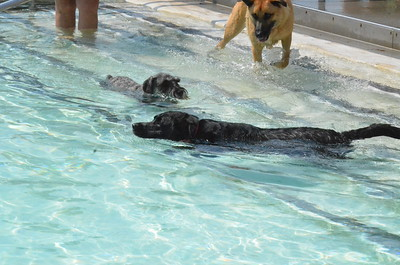 John Brewer - Oneida Daily Dispatch Dogs enjoy a cool dip in Chapman Pool in Oneida as part of the inaugural Puppy Paddle on Saturday, Aug. 20, 2016.