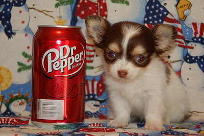 Puppy & Pet Adoption Fund Raiser Auction