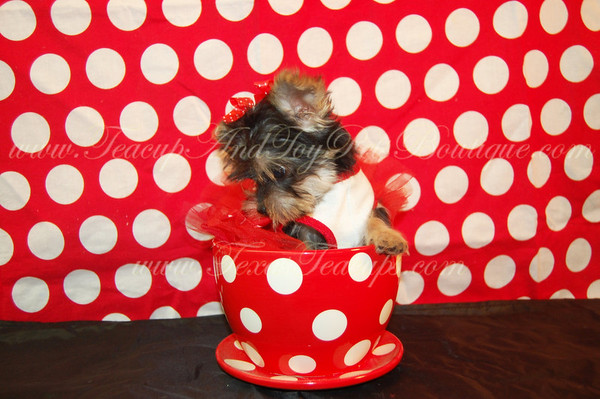 Yorkie # 2269 Donated To: Armstrong Elm. Fund Raiser