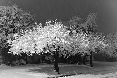 Snow Coral Tree