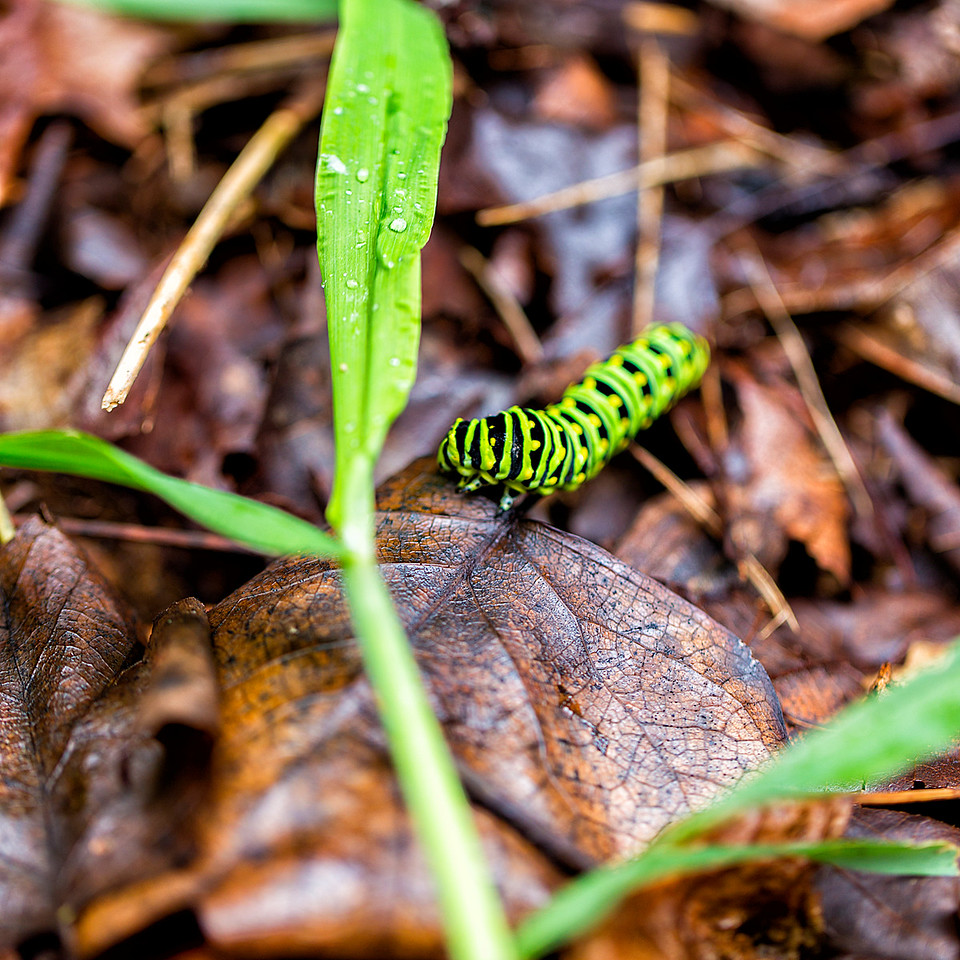 Caterpillar on leaves