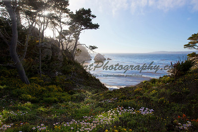 Sunbeams on Flowers, Point Lobos, California