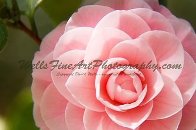 Coral Pink Camelia, Descanso Gardens California