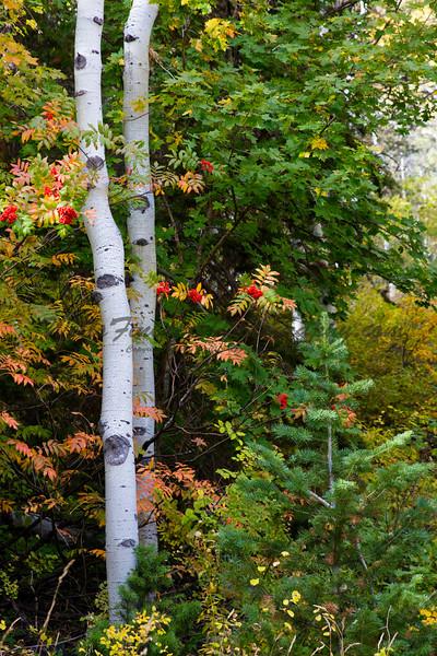 Aspens and Red Berries vertical, Wasatch Range, Utah