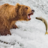 Bear or the Salmon?