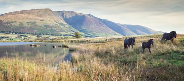 Blencathra and Wild Horses