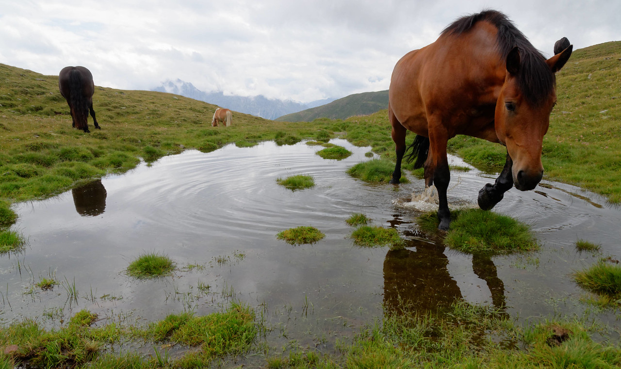Horses on Austrian Alpine pastures are greedy ...