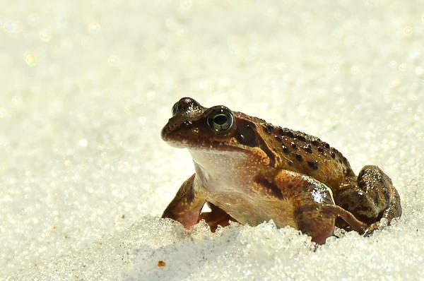 Frog on melting snow