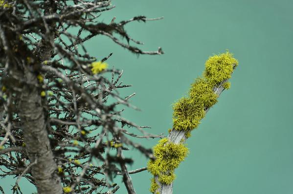 Lichen, Lake O'Hara, Yoho NP, British Columbia, Canada