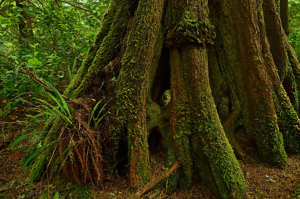 Rainforest, Pacific Rim NP, Vancouver Island;