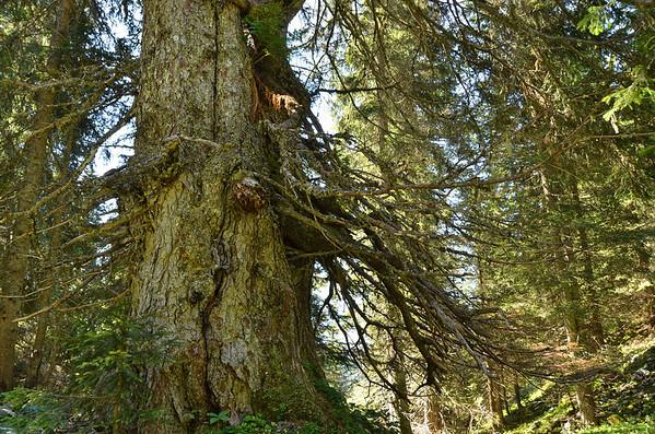 Mountain spruce, Planina Laz