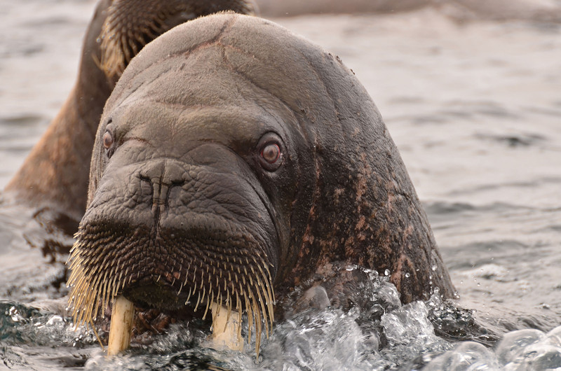 Looking into the red eyes of a Walrus