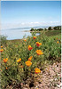 Poppies bloom at Pinole.