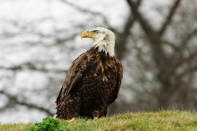 This gorgeous bald eagle visit Purgatory Golf Club April 11, 2013.