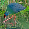 Purple Gallinule (Porphyrio porphyrio)