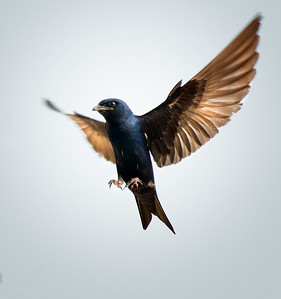 Male Purple Martin in-flight on the shores of Lake Huron at Sandpoint; Pigeon, Michigan. (Nikon 300mm AF-S with Nikon CT-14eII and fill flash) Photo by Edward Shotwell ©˙2013