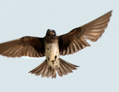 Female Purple Martin in-flight on the shores of Lake Huron at Sandpoint; Pigeon, Michigan. (Nikon 300mm AF-S with Nikon CT-14eII and fill flash) Photo by Edward Shotwell ©˙2013