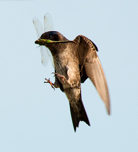 Female Purple Martin bringing home a guest for dinner.  Not as sharp as I would like, but so interesting!