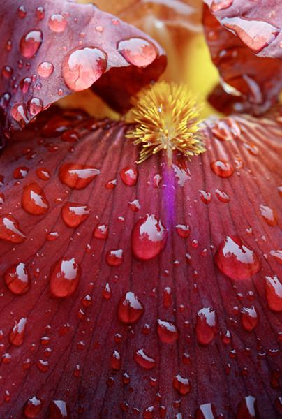 Chocolate Iris
