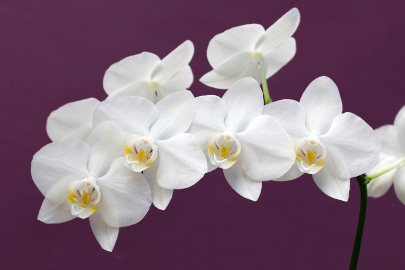 White Orchid 15