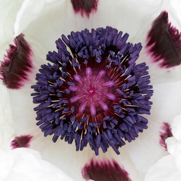 White Poppy 2