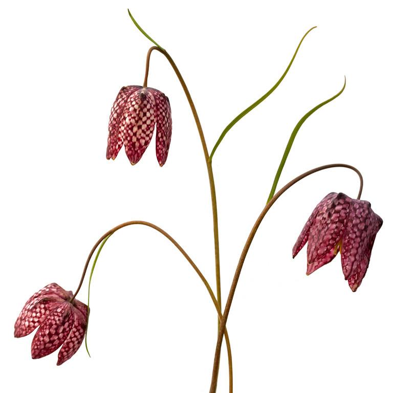 Fritillaria 3