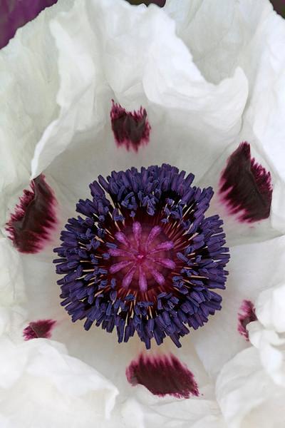 White Poppy 1