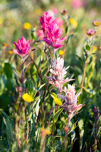 Pink Paintbrush