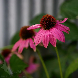 Purple Coneflower in its Prime