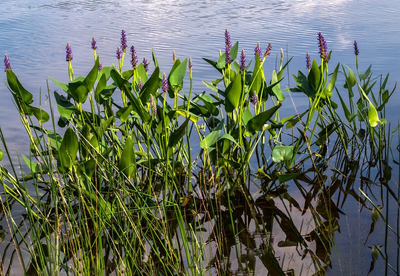 Pushaw Lake Pickerel Weed